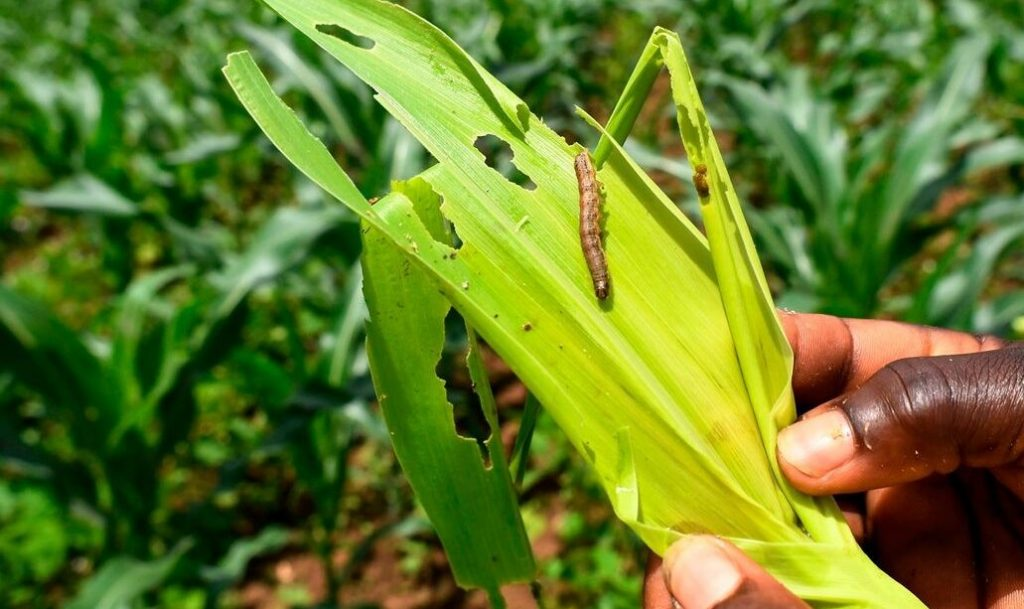 The Risk of Fall army worm on Maize Production in Somalia